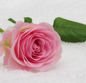 rose-3142660_1280